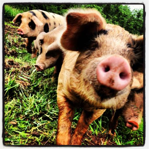 instagram four little piggies farm