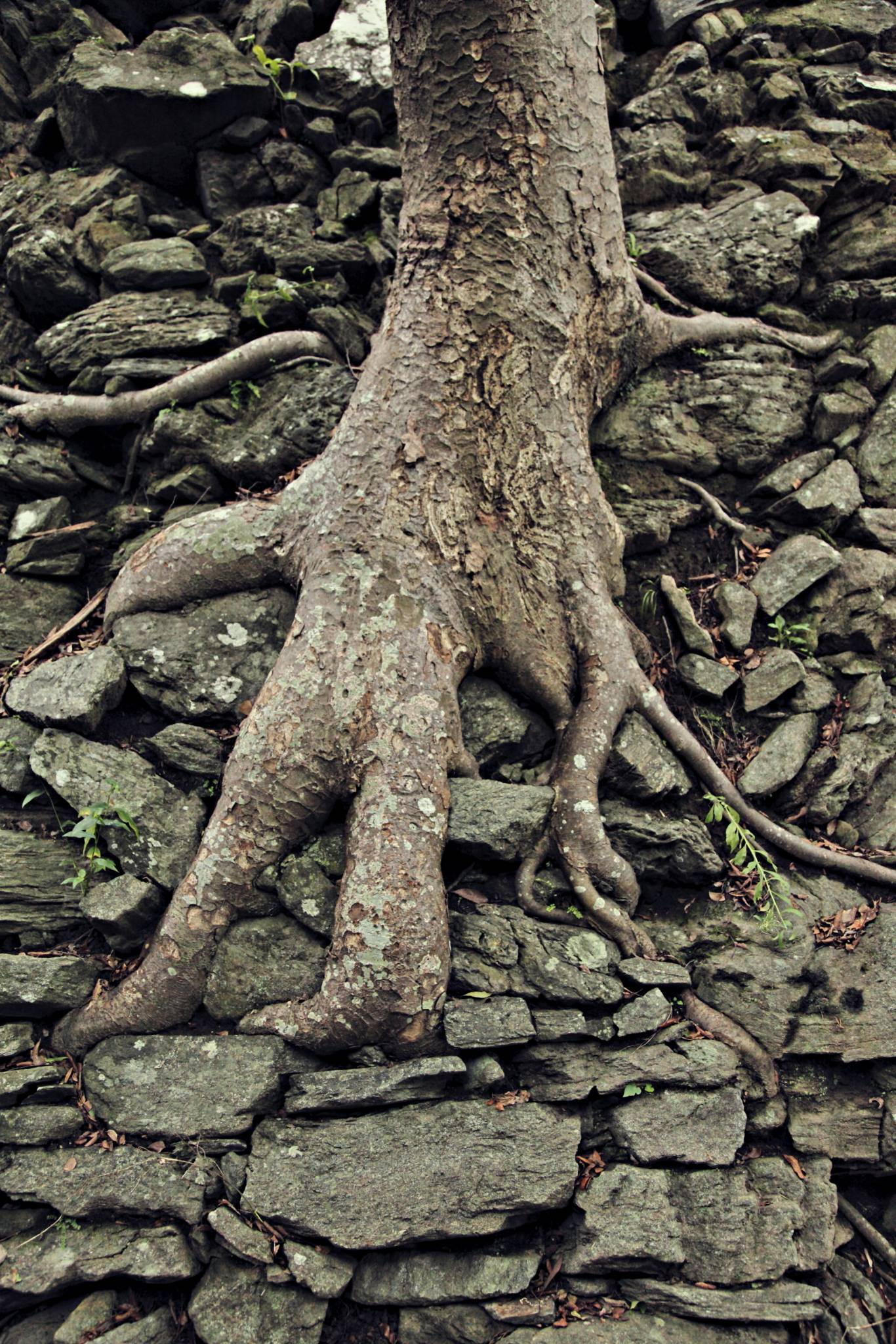 travel picture Japan ancient tree root dragon foot